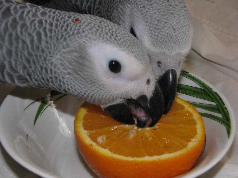 Продаются птенцы выкормыши попугая жако