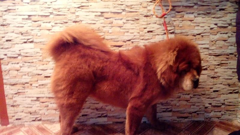 Груминг, стрижка собак крупных пород