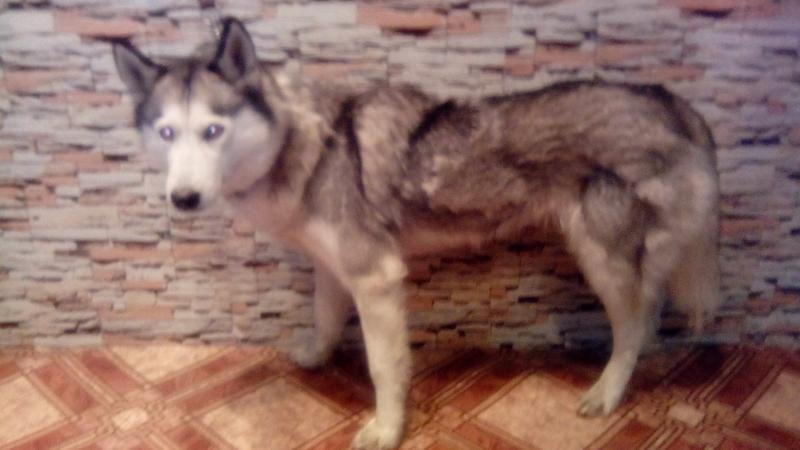 Груминг, стрижка собак крупных пород - Фото 2