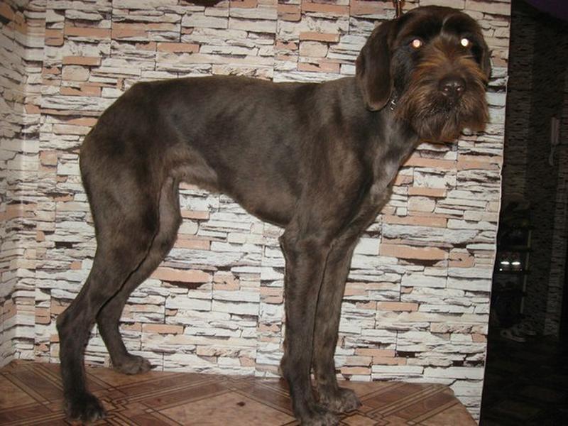 Груминг, стрижка собак крупных пород - Фото 3