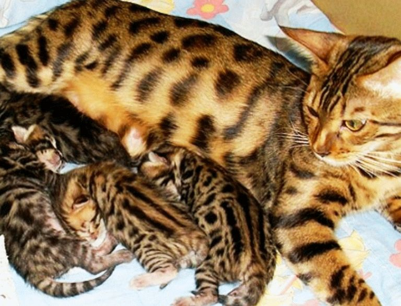 Атласні бенгальські котята
