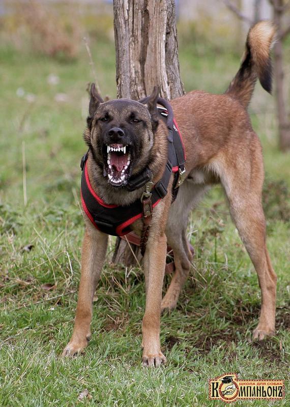 Дрессировка собак в Одессе - Фото 4