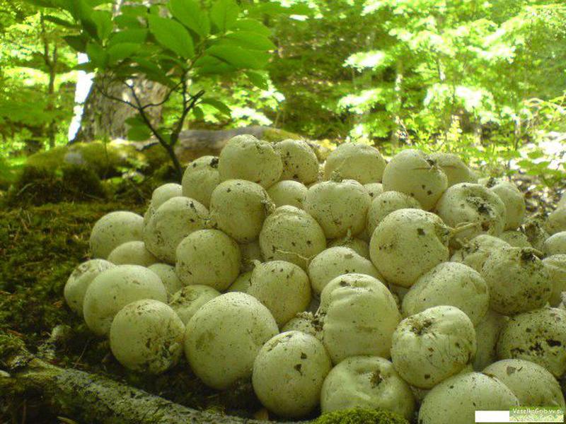 Настоящий лесной гриб ВЕСЕЛКА,100%качество гриба