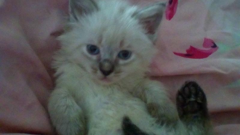Тайский котик.
