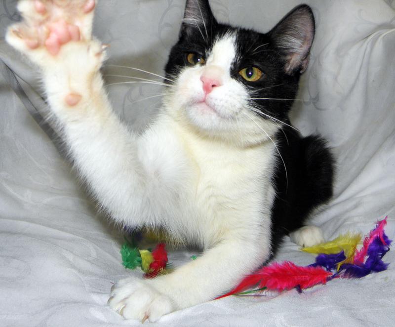 ЭМИР - метис русской голубой кошки; котик мальчик - Фото 2