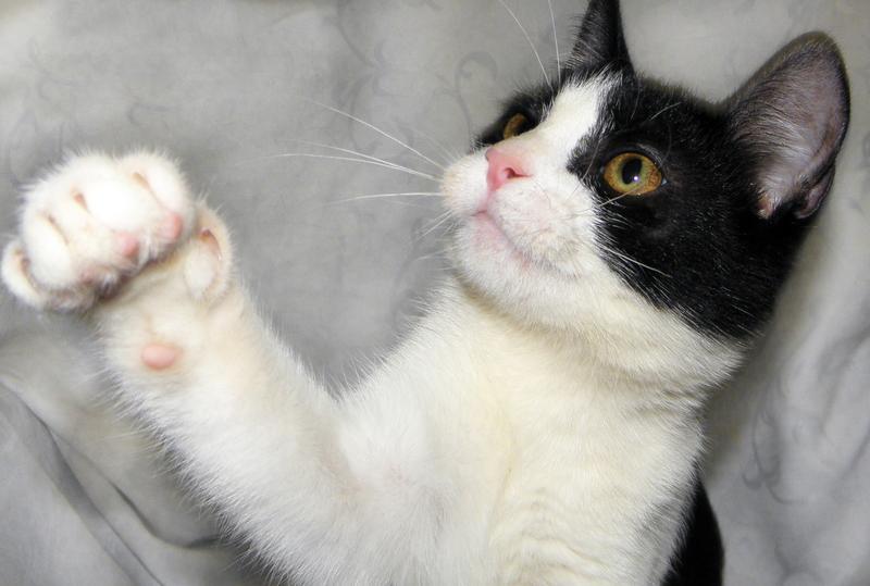 ЭМИР - метис русской голубой кошки; котик мальчик - Фото 3
