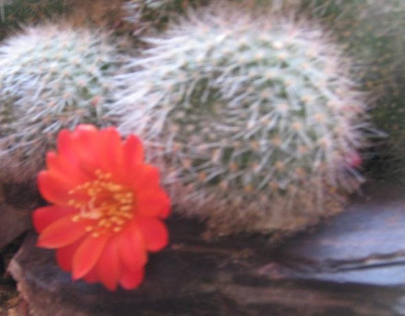 Детки кактуса ребуция с красными цветами