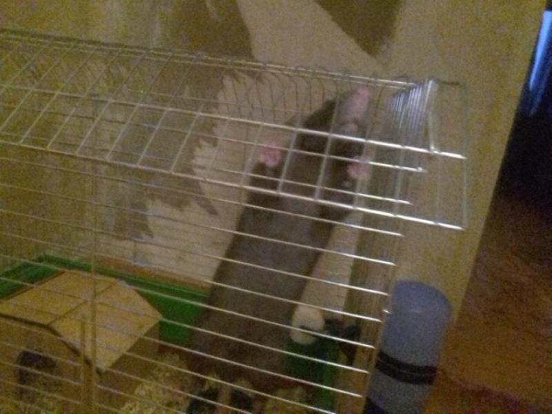 Уход за декоративними крысками