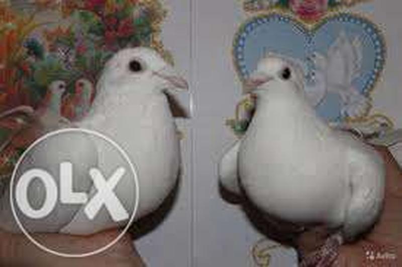 Продам голубей - Фото 4