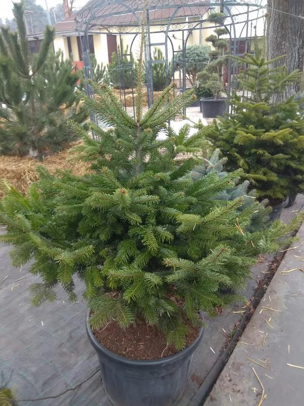 Ель,елка, пихта голубая колючая сизая новогодняя купить
