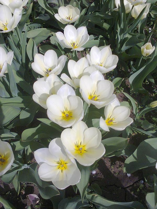 Луковицы тюльпанов белые суперранние Мариас Дрим - Фото 2