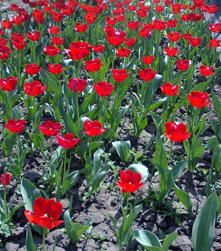 Луковицы тюльпанов красные ранние Парад - Фото 2