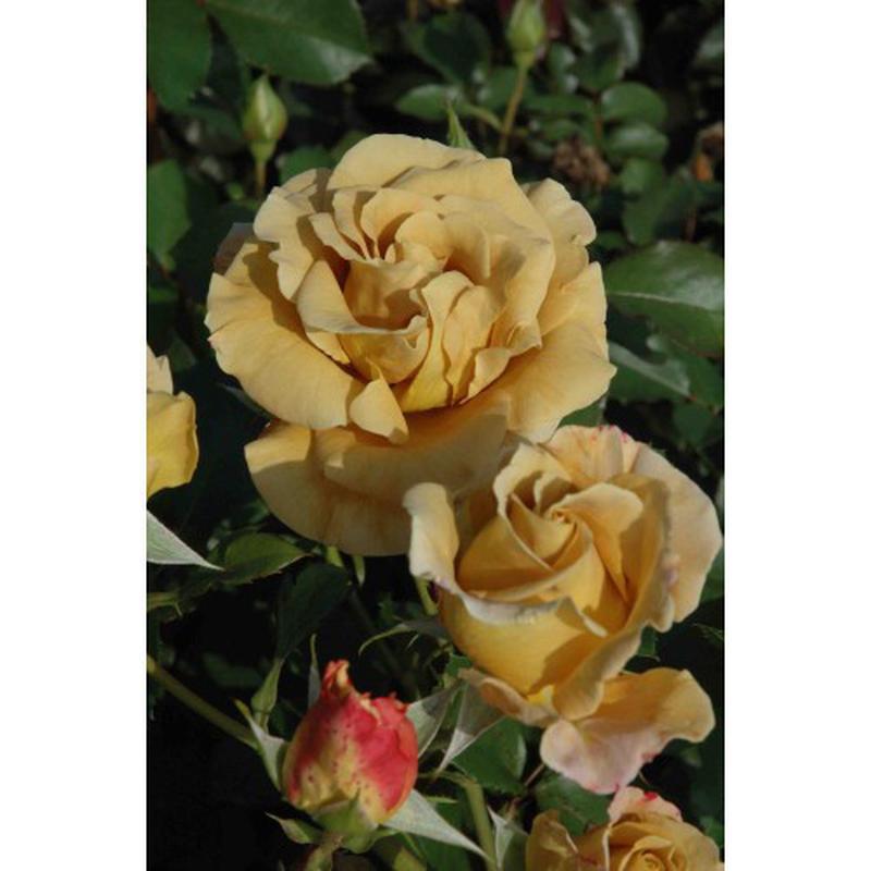 Саженцы розы Honey Dijon (Хани Диджон) - Фото 2