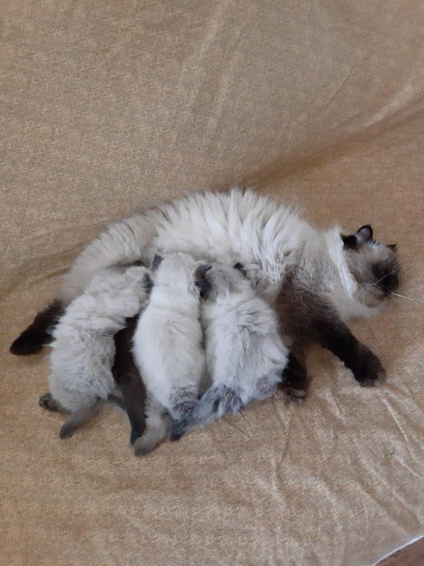 Гимолайско персы кошечки - Фото 5
