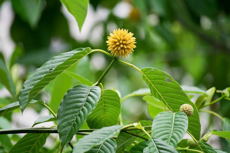 Чай кратом GREEN BALI - Фото 3