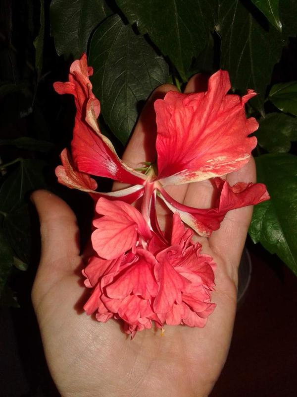 Гибискус кровавая Мэри-hibiscus El Capitolio Bloody Mary - Фото 4