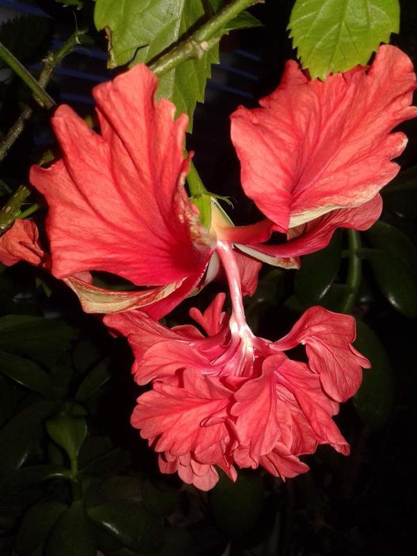 Гибискус кровавая Мэри-hibiscus El Capitolio Bloody Mary - Фото 5