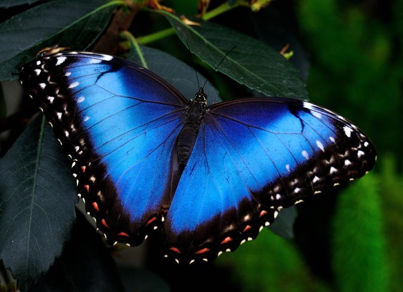 Живая тропическая бабочка. Купить бабочку. Бабочка Днепр, Киев...