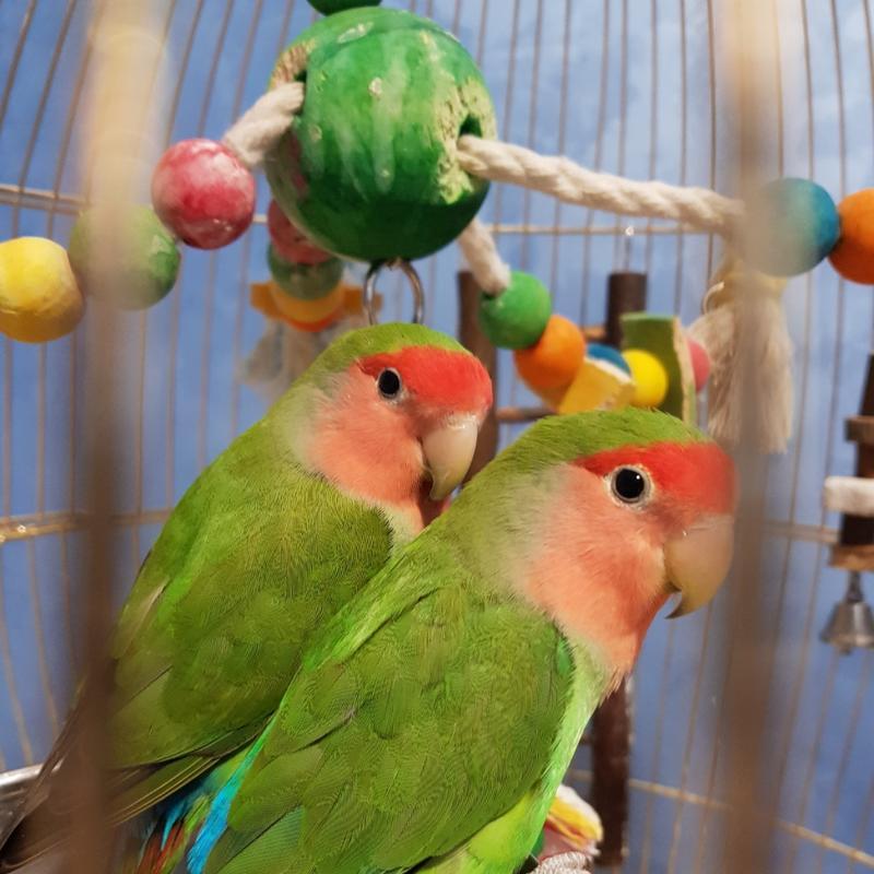 Передержка попугаев, птиц - Фото 3