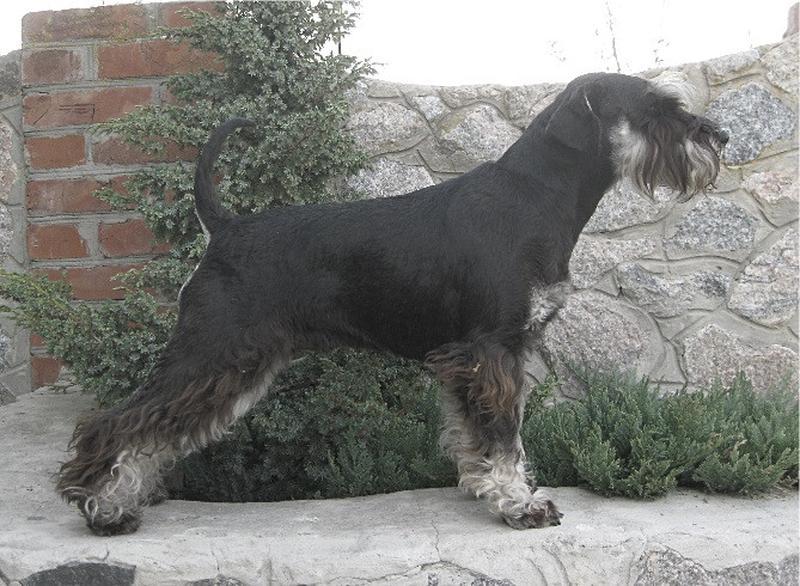 Щенки цвергшнауцера, окрас черный с серебром - Фото 3