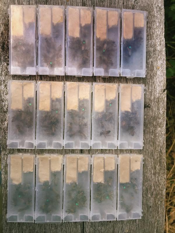 Високоякісні плідні бджоломатки Карніка 2019 - Фото 5