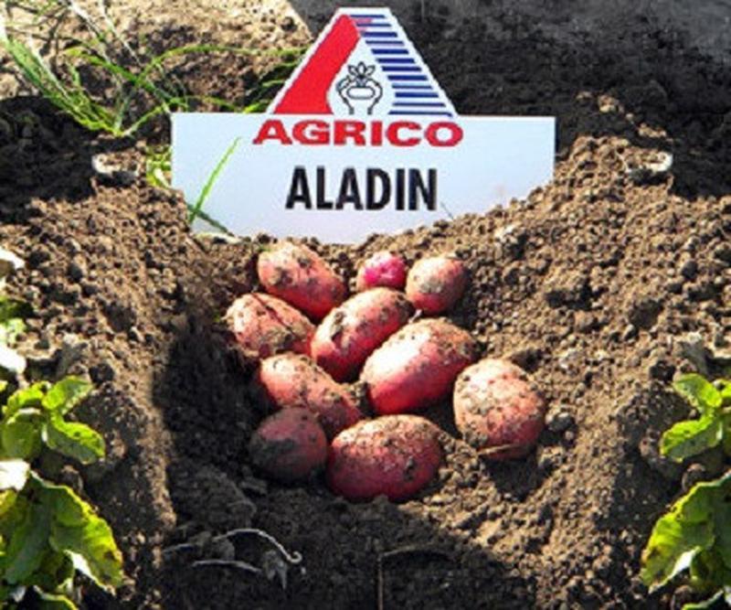 Элитный картофель семенной (посадочный). В наличии 20 сортов - Фото 3