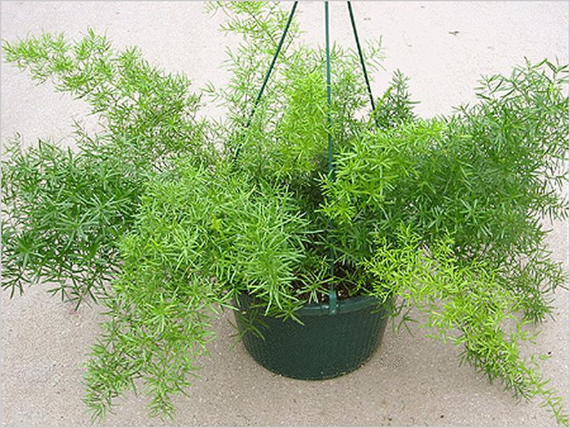 Аспарагус Комнатные цветы, растения