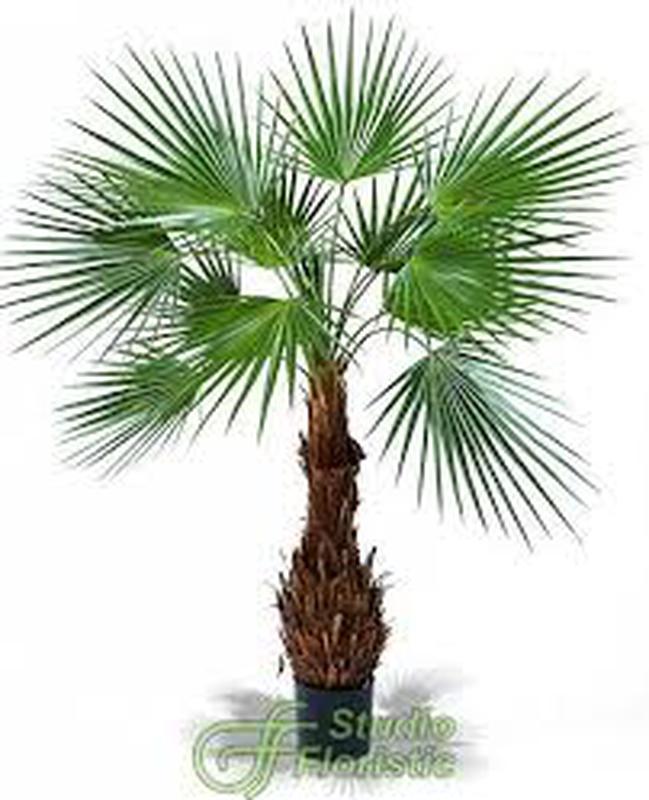Пальма Вашингтония комнатн. цветы декоративн растения озеленение