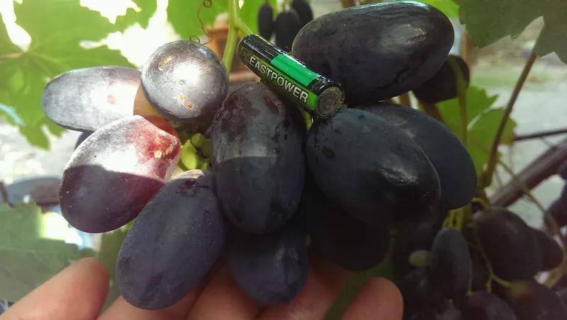 Сажанцы и черенки винограда - Фото 20