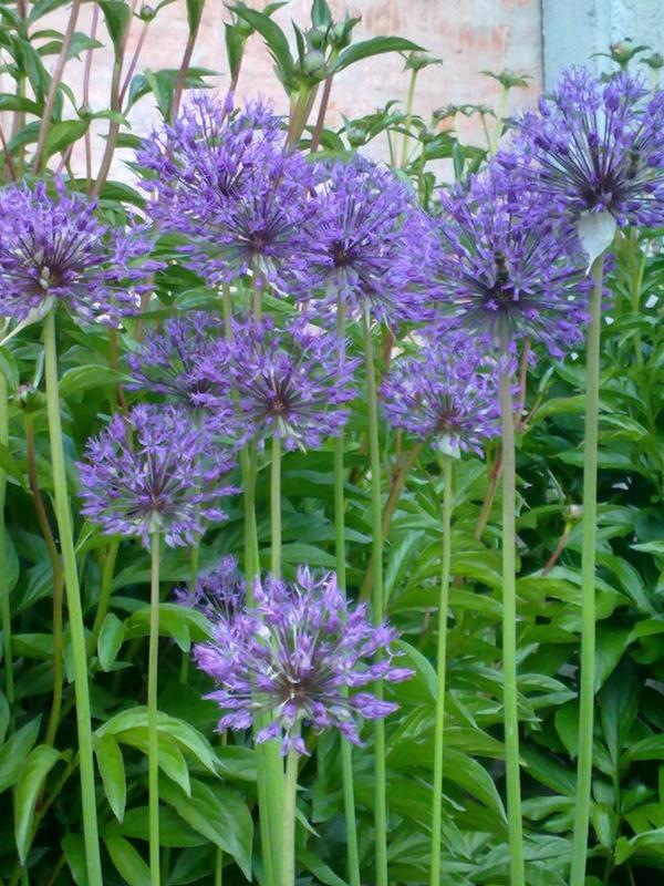 Лук декоративный фиолетовый