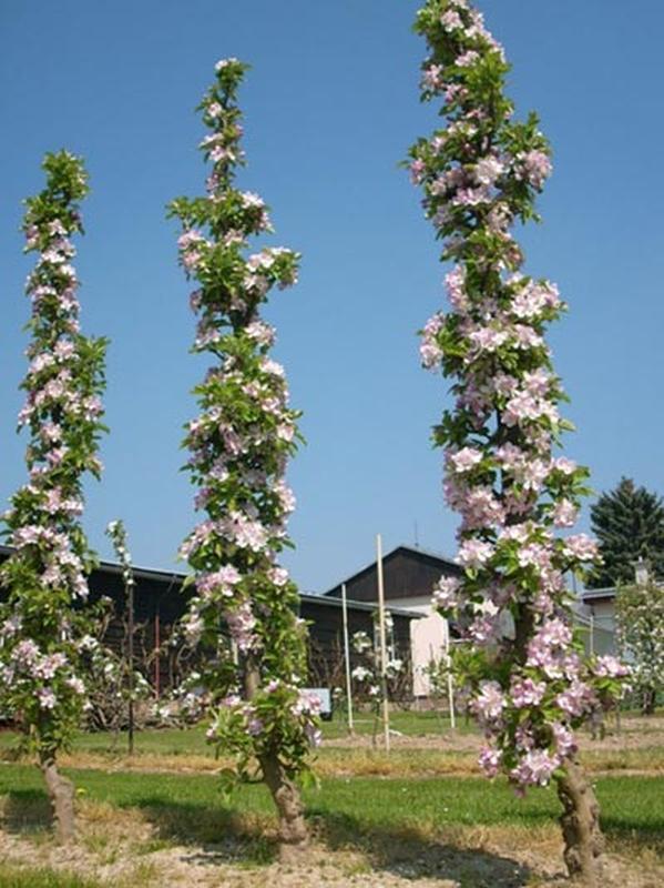 Саженцы Колоновидных плодовых деревьев - Фото 5