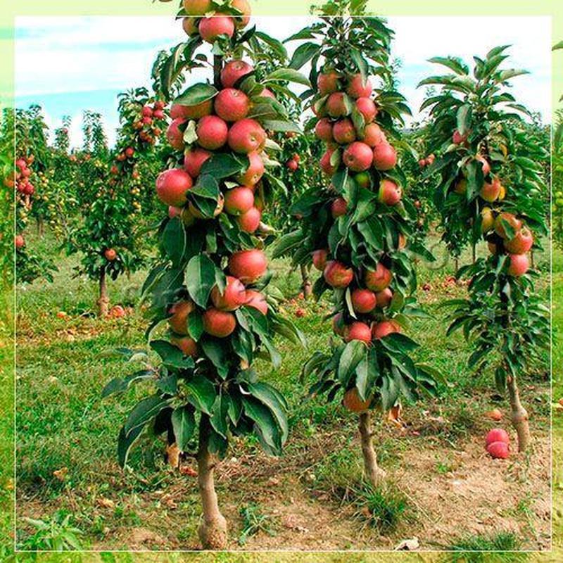Саженцы Колоновидных плодовых деревьев - Фото 3