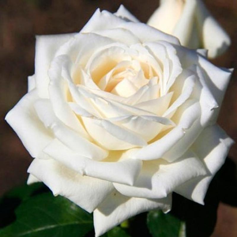 Саженцы Роз (плетистые, бордюрные, чайно-гибридные) - Фото 2