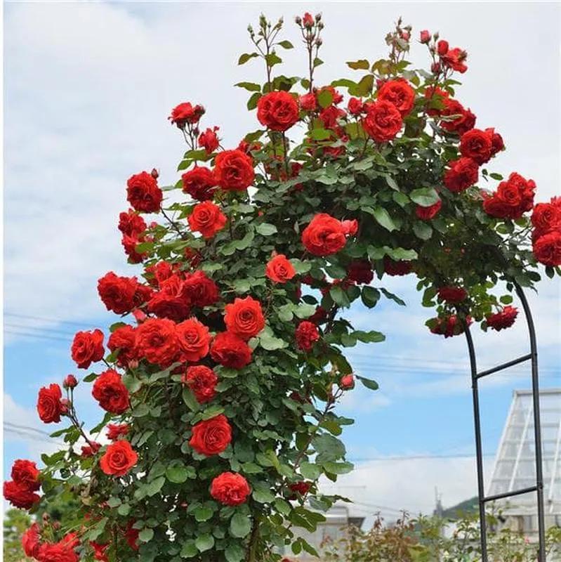 Саженцы Роз (плетистые, бордюрные, чайно-гибридные) - Фото 9