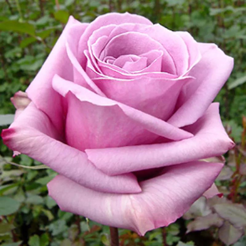 Саженцы Роз (плетистые, бордюрные, чайно-гибридные) - Фото 5
